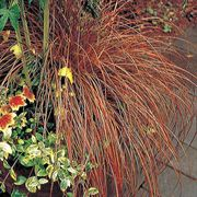 Bronze Carex Ornamental Grass Seeds