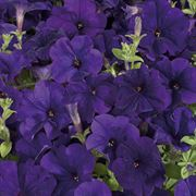 Celebrity Blue Petunia Seeds image