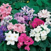 Fantasy Hybrid African Violet Seeds image
