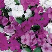 Sunny Lady Moon Mix Impatiens Seeds