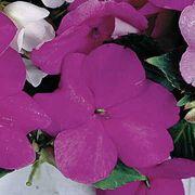 Sunny Lady Lavender Blue Impatiens Seeds
