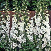 Camelot White Hybrid Foxglove Seeds image