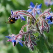 Pollinator Herb Seed Mixture Alternate Image 1
