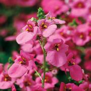 Diamonte Lavender Pink Diascia Seeds image