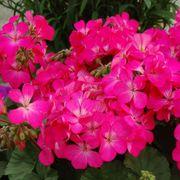Nano™ Pink Geranium Seeds image