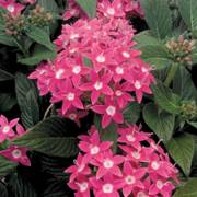 Graffiti® Rose Pentas Seeds
