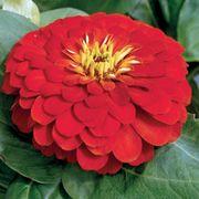 Magellan Scarlet Zinnia Seeds image