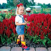 Fresh Look Red Celosia Seeds