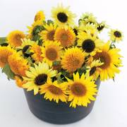Dwarf Mix Organic Sunflower Seeds (P) Pkt of 50 seeds image