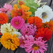 Park's Cutting Blend Full Mix Zinnia Seeds image
