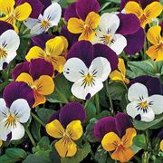 Jump Up Mix Viola Seeds image