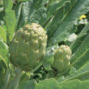 Imperial Star Artichoke Seeds image