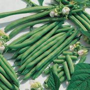 Kentucky Blue Pole Bean Seeds Alternate Image 1