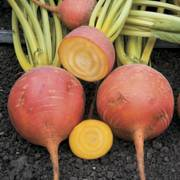Touchstone Gold Hybrid Beet Seeds