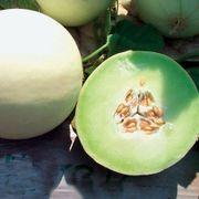 Snow Mass Melon Honeydew Seeds Alternate Image 1
