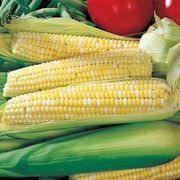 Ambrosia Hybrid Corn Seeds (P)Pkt of 200 seeds image