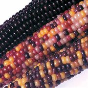 Fiesta Hybrid Corn Seeds image