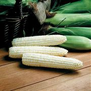 Avalon Triplesweet™ Hybrid Corn Seeds (P) Pkt of 200 seeds image