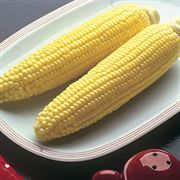 Bodacious Hybrid Corn Seeds