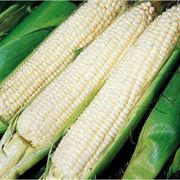 Silver Queen Hybrid Corn Seeds (P)Pkt of 200 seeds image