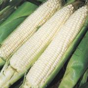 Silver Queen Hybrid Corn Seeds image