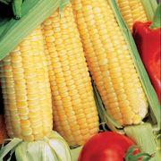 Sugar Buns Hybrid Corn Seeds (P)Pkt of 200 seeds image