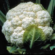 Candid Charm Hybrid Cauliflower Seeds