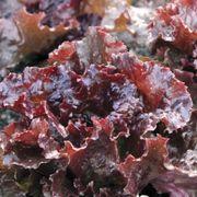 Red Sails Lettuce Seeds Alternate Image 1