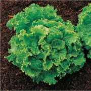 Green Ice Lettuce Seeds image