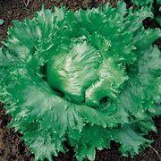 Calmar Lettuce Seeds image