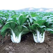 Joi Choi Hybrid Pak Choi Seeds image