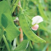 Dwarf White Sugar Snow Pea Seeds