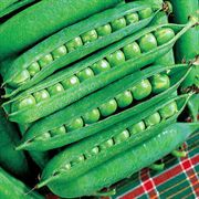 Green Arrow Pea Seeds