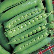 Green Arrow Pea Seeds