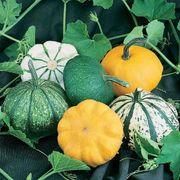 Park's Pattypan Hybrid Blend Squash Seeds (P)Pkt of 30 seeds image
