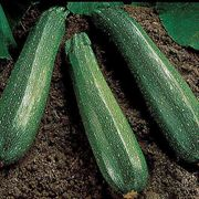 Spineless Beauty Hybrid Squash Seeds (P) Pkt of 20 seeds image