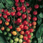 Supersweet 100 Hybrid Tomato Seeds