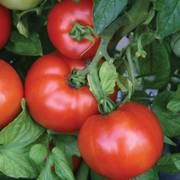 Park's Season Starter Hybrid Tomato Seeds image