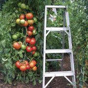 Park's Whopper CR Improved Hybrid Tomato Seeds (P)Pkt of 30 seeds Alternate Image 1