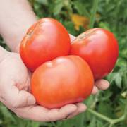 Park's Whopper CR Improved Hybrid Tomato Seeds (P) Pkt of 30 seeds image