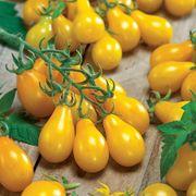 Yellow Pear Organic Tomato Seeds Thumb