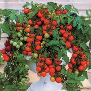 Maskotka Hybrid Tomato Seeds image