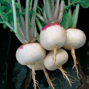 Purple Top White Globe Turnip Seeds image
