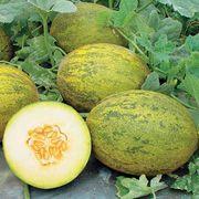 Lambkin Hybrid Melon Seeds