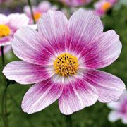 Happy Ring Dark Pink Cosmos Flower Seeds