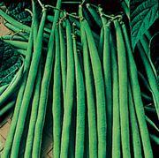 Maxibel Bush Bean Seeds (L)1lb image