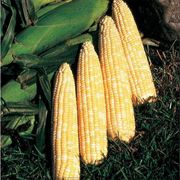 Honey N Pearl Hybrid Corn Seeds