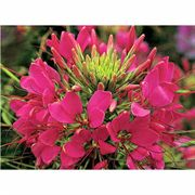 Sparkler Rose Hybrid Spider Flower Seeds