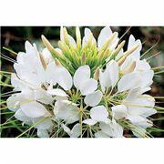 Sparkler White Hybrid Spider Flower Seeds