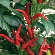Super Chili Hybrid Pepper Seeds